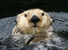Sea Otter - Vancouver Aquarium in Stanley Park, Vancouver, BC, Canada