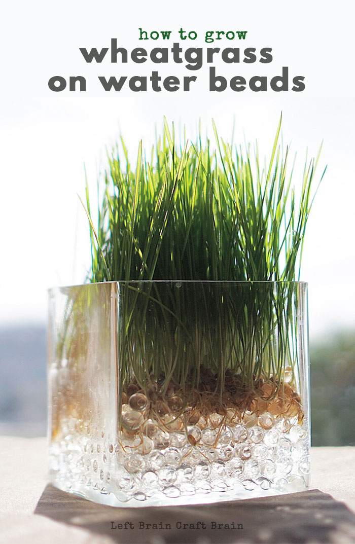 Grow a vase full of wheatgrass on water beads for a fast growing science activity for kids. Perfect for teaching the plant life cycle.