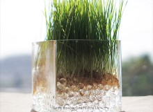 Wheatgrass on Water Beads featured
