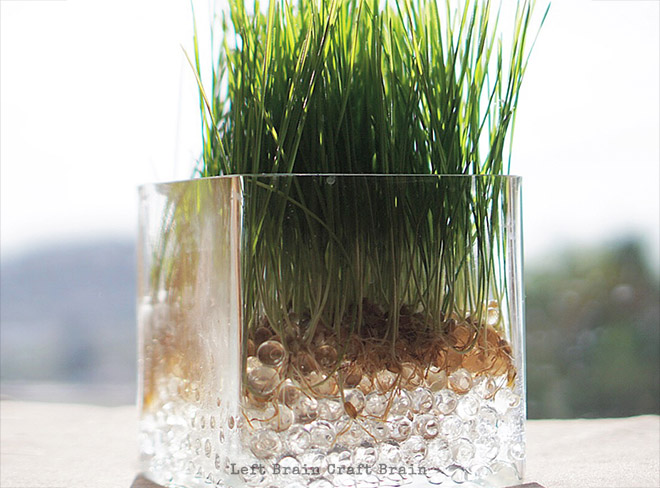 Super Easy Science: How to Grow Wheatgrass on Water Beads